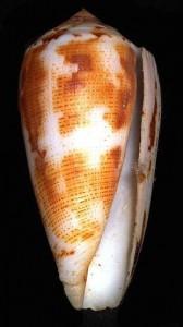 Conus magus, le cône magicien © Creative Commons