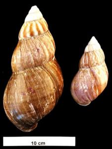 Achatina fulica © CC Wikimedia