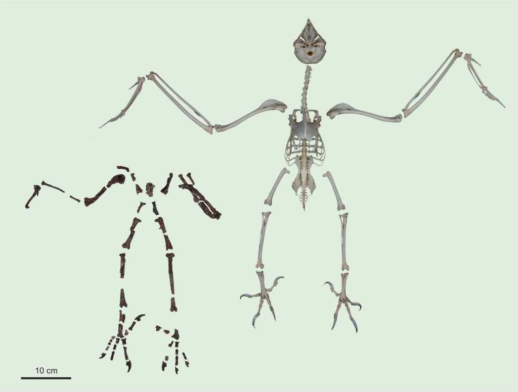 Comparaison du squelette de Primoptynx poliotaurus avec celui du harfang des neiges actuel (Bubo scandiacus). © Sven Tränkner & Gerald Mayr