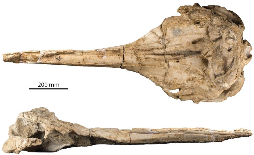 Fossile de Rhaphicetus valenciae. © IRSNB