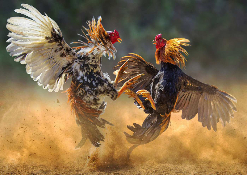 10 Amazing Facts About Rooster Spurs