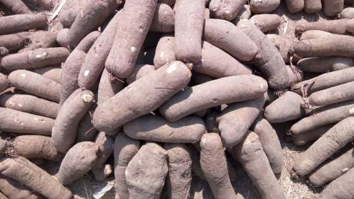 How To Start Yam Business in Nigeria