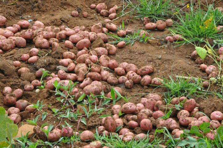 Sweet Potato Farming In Nigeria