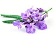 ingredient-lavender-blossom