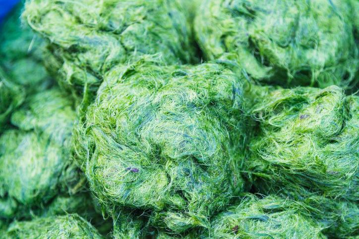 freshwater algae, spirulina