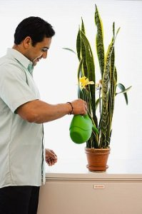 A man in a white shirt waters a tall houseplant