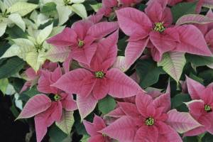 closeup of poinsettia, red and white poinsettia