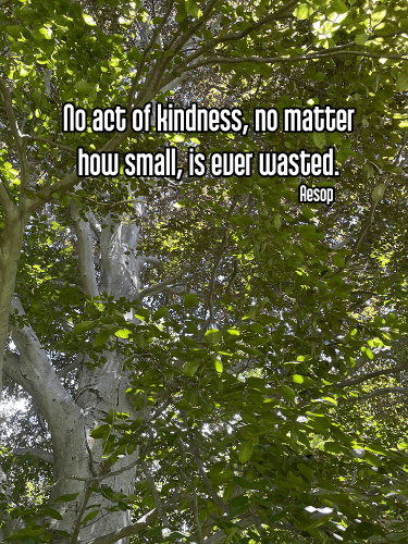 cool perspective looking up at bright green leaves of a tree with light gray white trunk and branches - ahimsa nonviolence kindness Quote: No act of kindness, no matter how small, is ever wasted. - Aesop