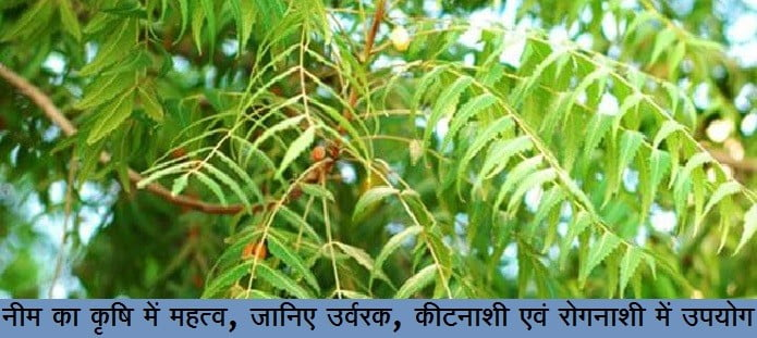 नीम का कृषि में महत्व, जानिए उर्वरक, कीटनाशी एवं रोगनाशी में इसका उपयोग