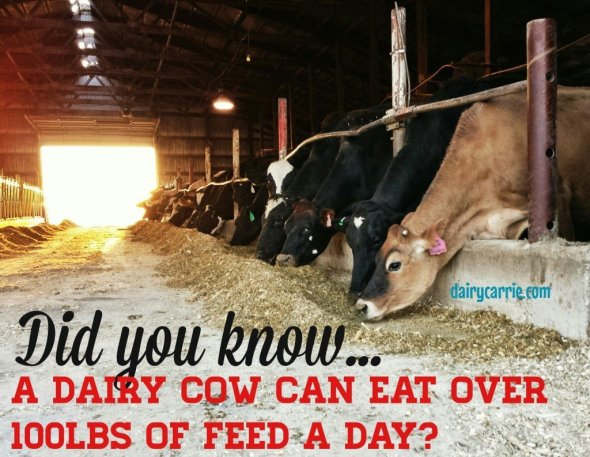 How much do cows eat?