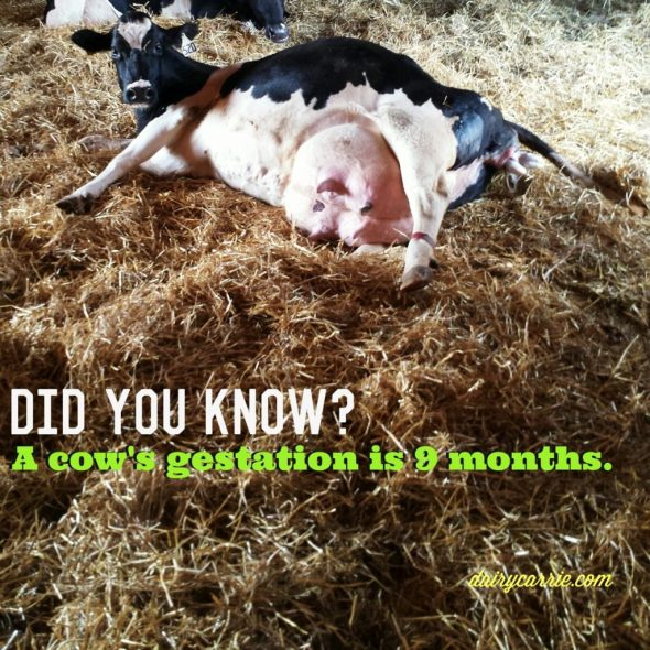 How long are cows pregnant?