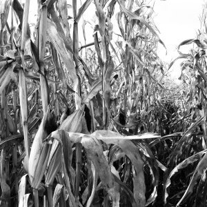 black and white corn in field.