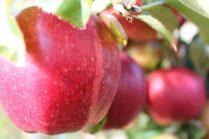 Ballycross Apples