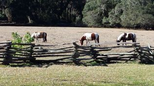 Horses grazing at Magnolia Plantation