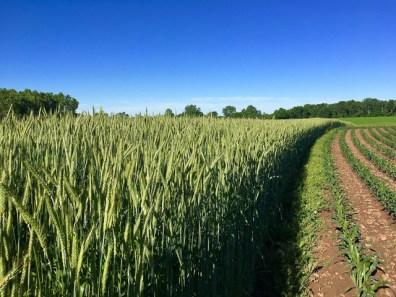 Kinnard_Farms-KF_Crops1