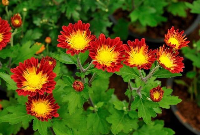 3-season garden Orange with yellow center Dianthus