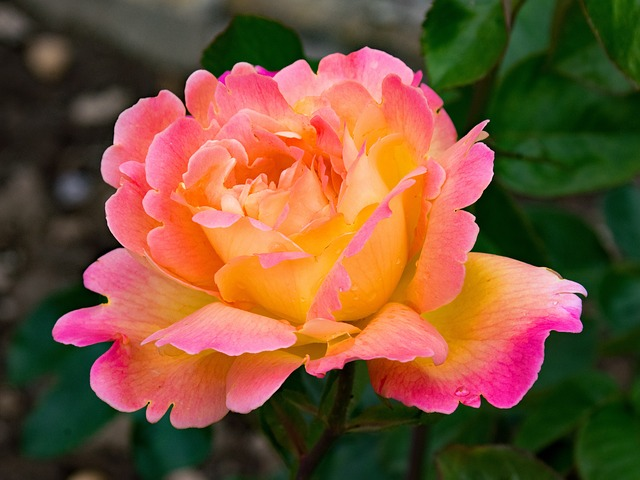 Hybrid Tea Rose orange with pink around the tips of the edges