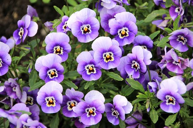 3-season garden Lavender Pansies