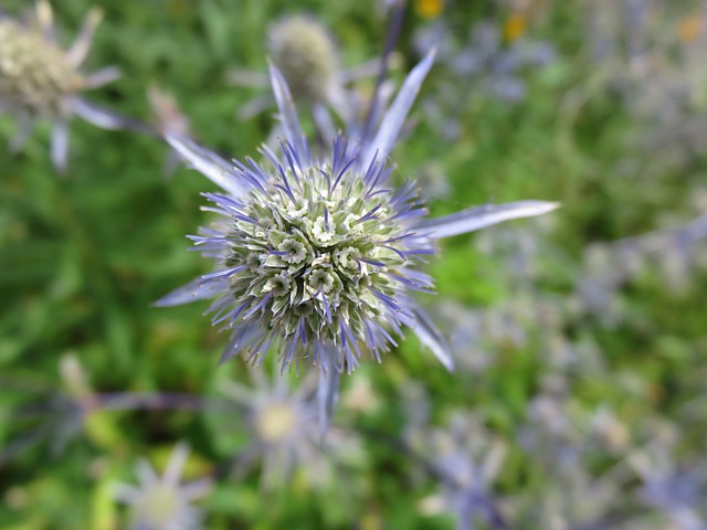 3-season garden Purple Sea Holly Plant