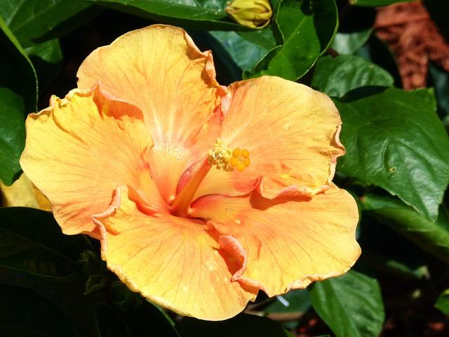 3-season garden Yellow Perennial Hibiscus
