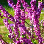 Purple colored Daphne flowering shrubs