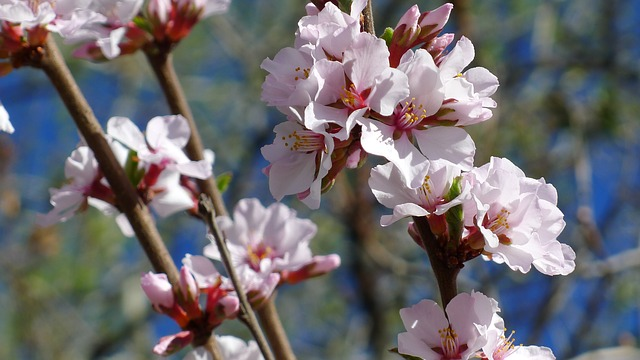 Nanking Cherry flowering Shrubs with light pink flowers