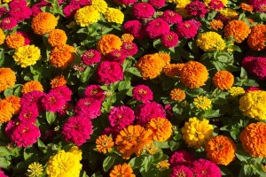 Red, orange, and yellow zinnias with green leaves.