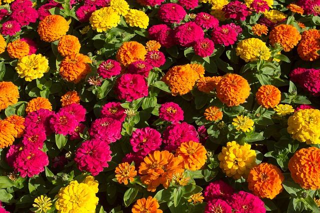 3-season garden Orange, Red and Yellow Zinnias