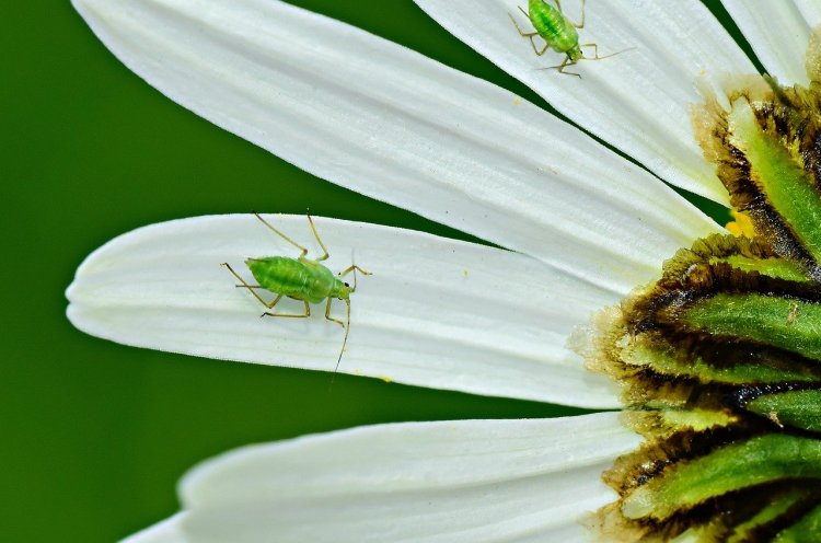 Green aphid insect on a white flower