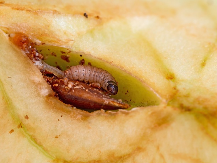 Codling Moth in apple core
