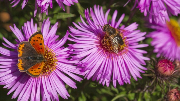 A bee and a butterfly on cosmos flowers lavender in color.