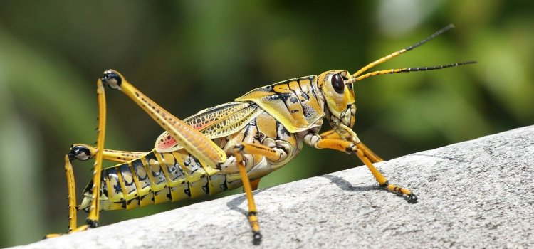 Grasshopper from the suborder caelifera.
