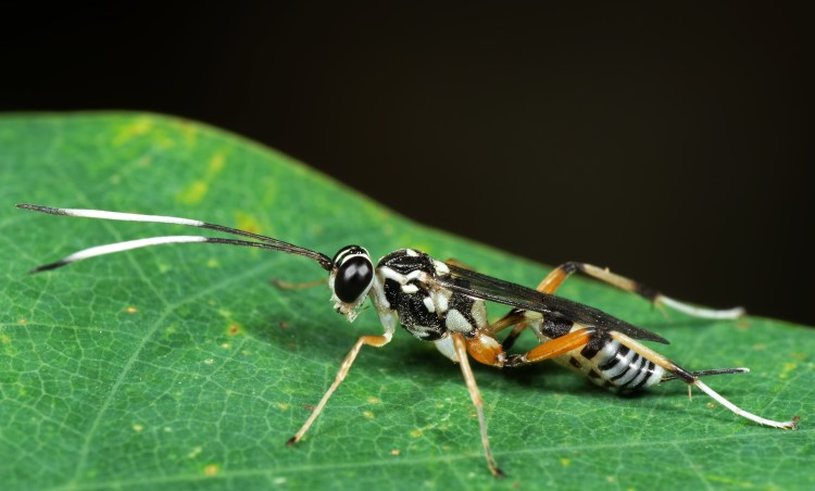 Ichneumon Wasp with black and yellow antannae's on a green leaf.