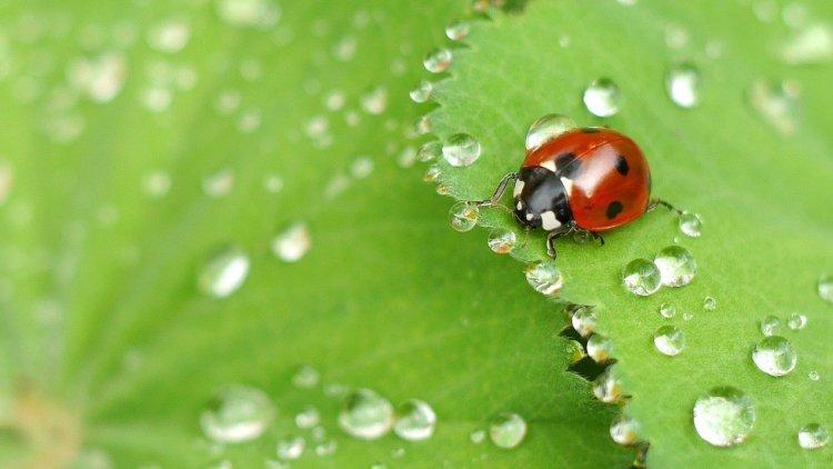 Ladybug beetle on a green leaf.