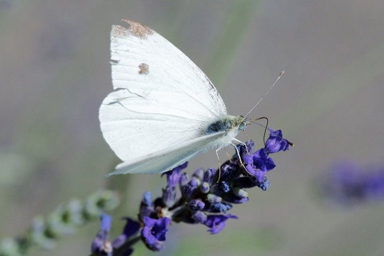 Common white butterfly with black spots. Sitting on a purple flower stem.