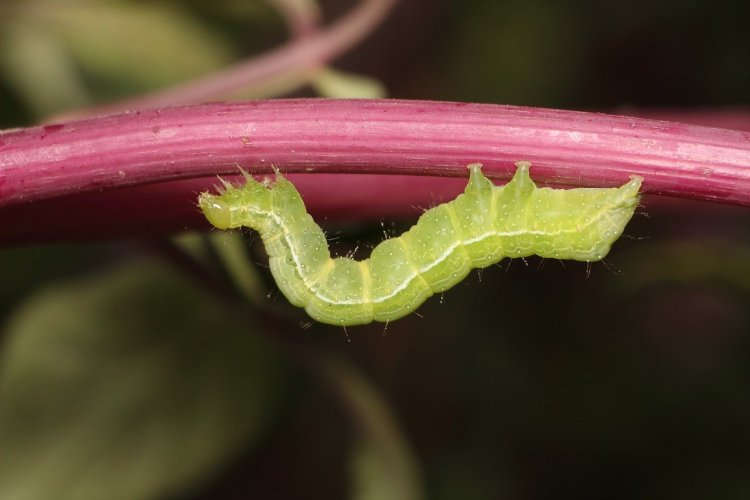 cabbageworm, a bright green worm with a white line down side. It has short fuzz. Hanging on a branch.