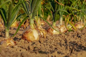 A crop of onions planted in the ground.