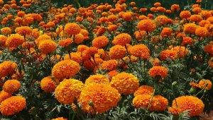 Orange colored Marigolds.
