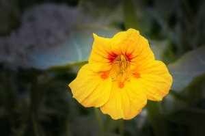 Sunny yellow with red in center Nasturtium plant. Background gray in color.