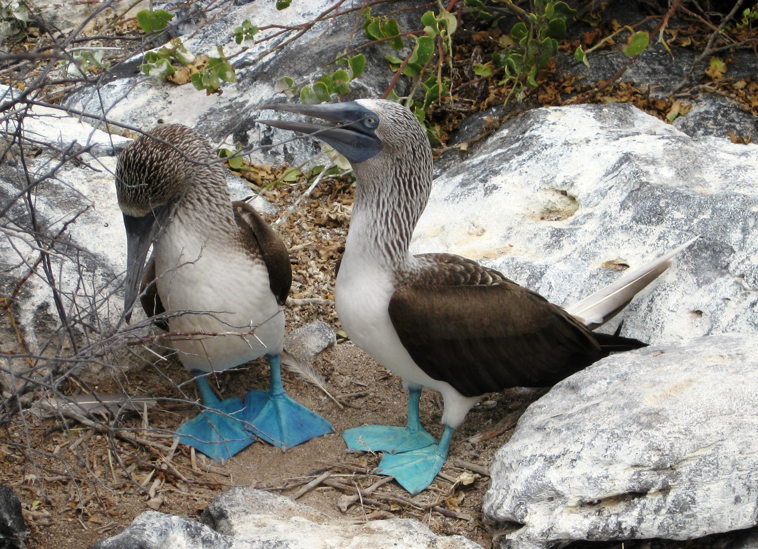 Fearless Boobies of the Galapagos