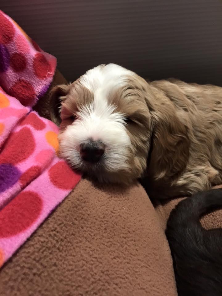 Labradoodle Puppy Adoption - Daisy Hill Australian Labradoodles