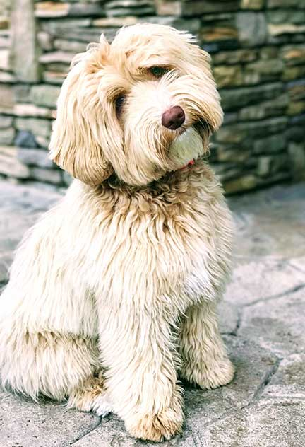 Breeding Female Labradoodles