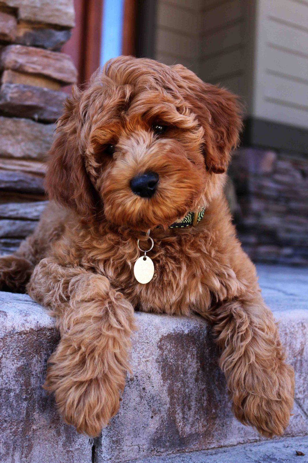 Labradoodle Puppy Adoption Daisy Hill Australian Labradoodles
