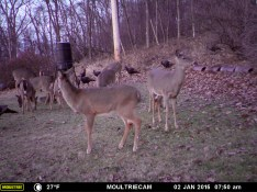 Deer Eating With The Turkey