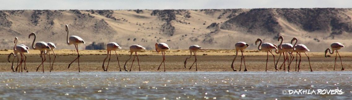 Flamingos birdwatching day Dakhla Ramsar