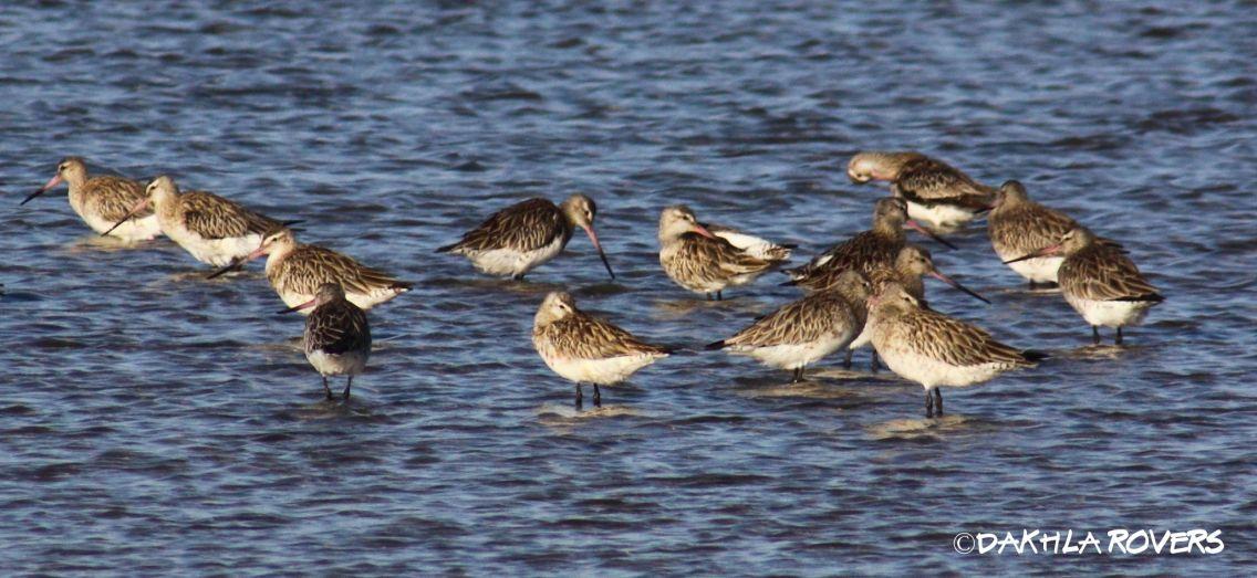 Dakhla Rovers: Bar-tailed Godwit, Limosa lapponica, #DakhlaNature @iNaturalist