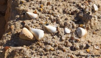 Dakhla Rovers: Cone shells, #DakhlaNature @iNaturalist
