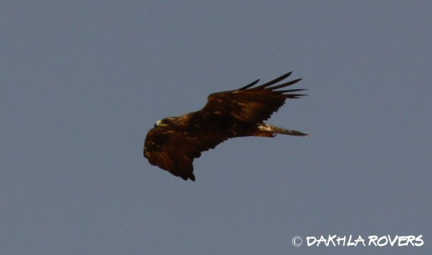 Dakhla Rovers: Golden Eagle, Aquila chrysaetos, #DakhlaNature @iNaturalist
