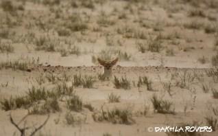 Dakhla Rovers: Fennec Fox, Vulpes zerda, #DakhlaNature @iNaturalist