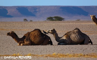 #DakhlaRovers #desert #camel